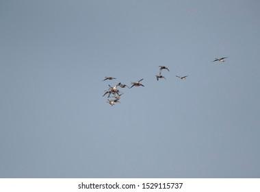 Northern Shovelers flying at Eker creek, Bahrain