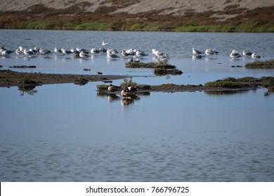 Northern shovelers in san Francisco bay national wildlife refuge
