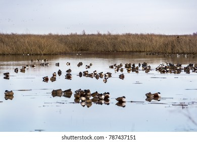 Northern shovelers sleeping in the wetlands of Sacramento National Wildlife Refuge, California