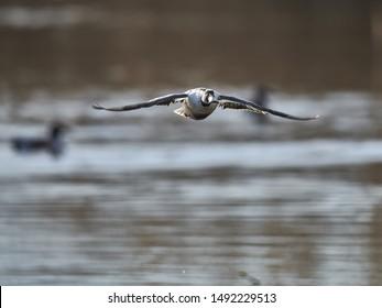 Northern Shoveller in flight above a lake