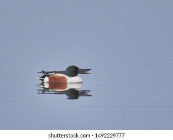 Northern Shoveller swimming on a lake
