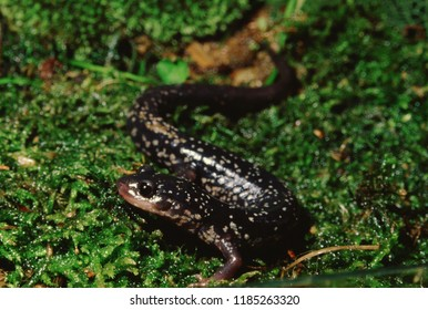 Northern Slimy Salamander (Plethodon Glutinosus)