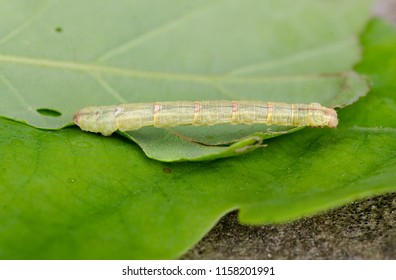 Northern Spinach ( Eulithis populata ) moth caterpillar. Sitting on a leaf.
