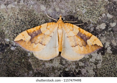 Northern Spinach moth ( Eulithis populata ). Sitting on a rock.