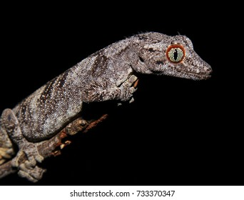 Northern Spiny Tailed Gecko (Strophurus ciliaris) on a branch in Broome, Western Australia.