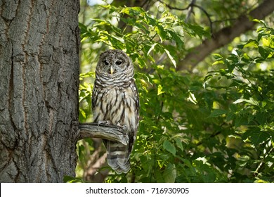 Northern spotted owl watching from a tree branch