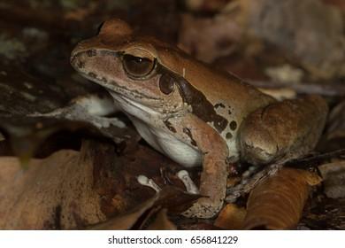 Northern stony-creek frog (Litoria jungguy) in leaf litter on the rainforest floor. Kuranda, Queensland, Australia.