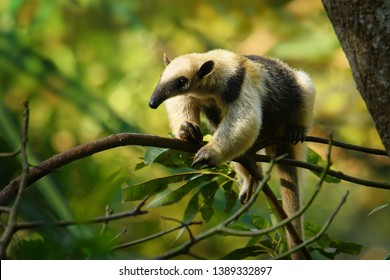 Northern Tamandua - Tamandua mexicana species of anteater, tropical and subtropical forests from southern Mexico, Central America to the edge of the northern Andes
