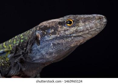 Northern Tenerife lizard (Gallotia galloti eisentrauti)