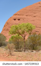 NORTHERN TERRITORY, AUSTRALIAN - OCTOBER 22: Spring trees in leaf close to Kata Tjuṯa a group of 36 red-rock domes of the Kata Tjuta in Tjuta National Park, Northern Territory, central Australia.
