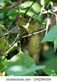 Northern Treeshrew (Tupaia belangeri) hiding in a bush, Close up. Treeshrew or tree shrew or banxring climbing on the tree in the morning in Thailand.