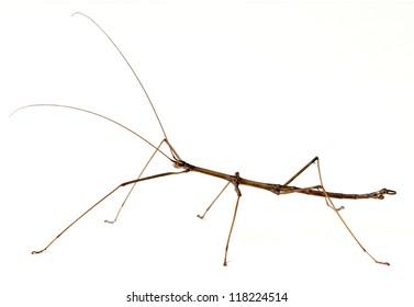 Northern Walkingstick Insect (Diapheromera fermorata)