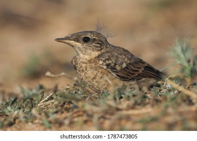 northern wheatear baby (Oenanthe oenanthe)