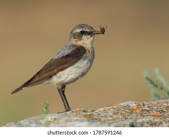 northern wheatear (Oenanthe oenanthe) in natural habitat