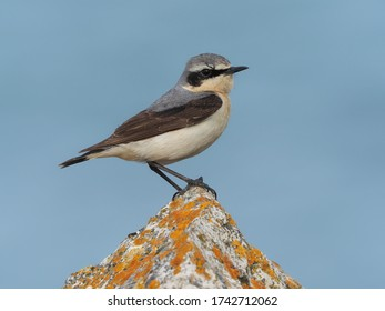 Northern wheatear (Oenanthe oenanthe) on a rock