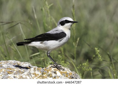 Northern Wheatear (Oenanthe oenanthe) sitting on the stone on rocky place.