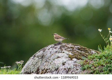 Northern Wheatear perching on a stone in a  stony country in september with a nice green bokeh