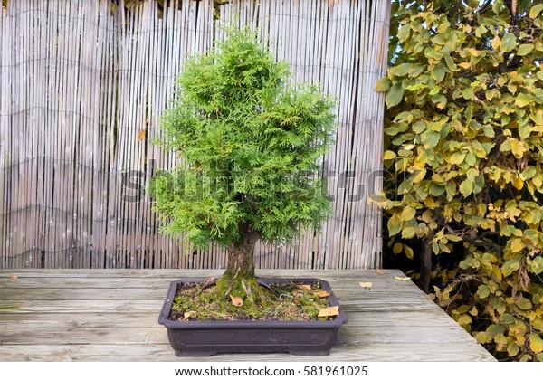 Northern White Cedar Bonsai (Thuja occidentalis)