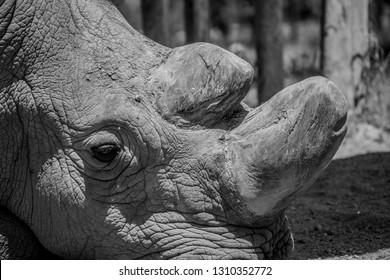 Northern White rhino sudan black and white close up
