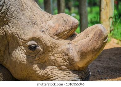 Northern White rhino sudan close up