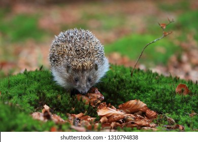 Northern white-breasted hedgehog on moss