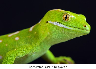 The Northland green gecko or Gray's tree gecko (Naultinus grayii ) is a species of gecko. The species is found only in the Northland region of New Zealand, north of Whangaroa; it is one of the rarest