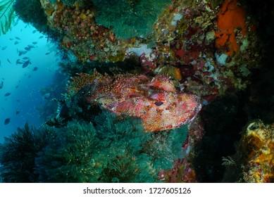 Le scorpionfish de Northland, Scorpaena cardinalis, se trouve sur un affleurement rocheux dans l'océan Pacifique Sud, au large de la Nouvelle-Zélande, dans la réserve marine de Poor Knights.
