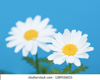 Northpole flower photographed on blue background