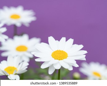 Northpole flower photographed on a purple background