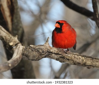 northtern cardinal isolated on a branch