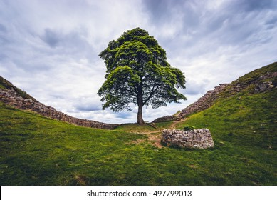 Northumberland, UK - 29 June 2014:  Sycamore Gap on Hadrian's Wall in Northumberland.  A small circular wall protects a replacement sycamore sapling