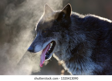 The northwestern wolf (Canis lupus occidentalis) standing on the road. The wolf (Canis lupus), also known as the grey/gray or timber wolf.Portrait of the wolf with steam at the mouth.