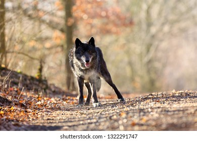 The northwestern wolf (Canis lupus occidentalis) standing on the road. The wolf (Canis lupus), also known as the grey/gray or timber wolf.