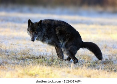 The northwestern wolf (Canis lupus occidentalis) standing on the road. The wolf (Canis lupus), also known as the grey/gray or timber wolf deferred dung on a meadow.