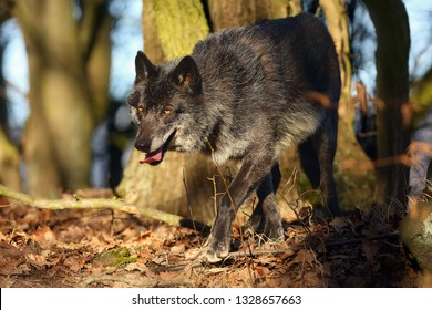 The northwestern wolf (Canis lupus occidentalis) standing in  the forest. The wolf (Canis lupus), also known as the grey/gray or timber wolf.