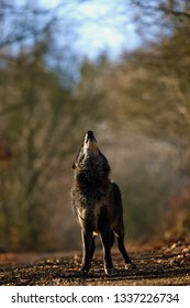 The northwestern wolf (Canis lupus occidentalis) standing on the road. The wolf (Canis lupus), also known as the grey/gray or timber wolf.Portrait of a howling wolf.