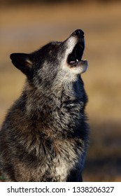 The northwestern wolf (Canis lupus occidentalis) standing on the road. The wolf (Canis lupus), also known as the grey/gray or timber wolf.Portrait of a howling wolf