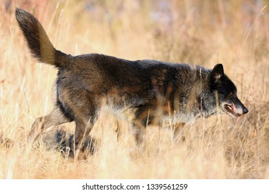 The northwestern wolf (Canis lupus occidentalis) standing on the meadow. The wolf (Canis lupus), also known as the grey/gray or timber wolf on a meadow.