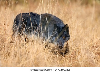 The northwestern wolf (Canis lupus occidentalis) standing on  the meadow. The wolf (Canis lupus), also known as the grey/gray or timber wolf with the yellow bacground. Wolf among yellow grass.
