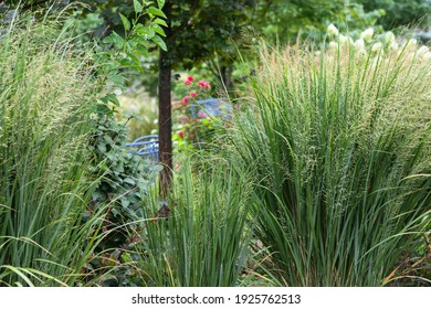 Northwind ornamental grasses, Pillars of olive blue-green blades provide strong vertical form - great as an accent or in a row for screening provide privacy in this suburban garden - Shutterstock ID 1925762513