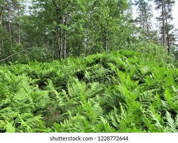 Norway fern bracken