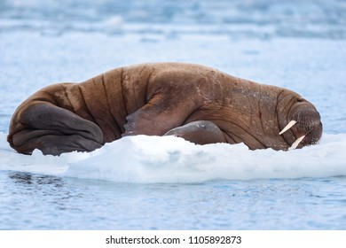 norway landscape nature walrus on an ice floe  of Spitsbergen Longyearbyen  Svalbard   arctic winter  polar sunshine day