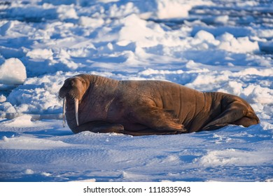 norway landscape nature walrus on an ice floe  of Spitsbergen Longyearbyen  Svalbard   arctic winter  polar sunshine day  sky
