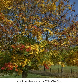 Norway maple (Acer platanoides) in autumn, Hagen, Lower Saxony, Germany, Europe