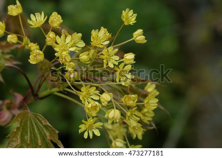 Norway Maple Blossom
