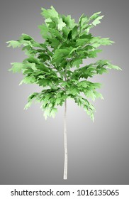 norway maple tree isolated on gray background. 3d illustration