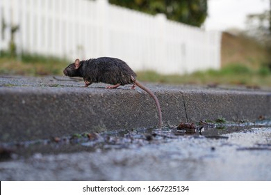 norway rat, rattus norvegicus, running on a curb to a garden fence