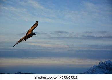 Norway Sea Eagle in the Lofoten.