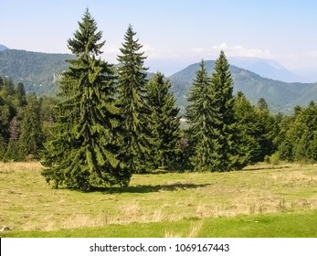 The Norway Spruce (Picea abies) in the Carpathian Mountains, Romania during summer time