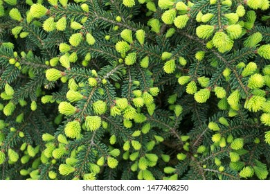 Norway spruce (Picea abies) or European spruce new needles.